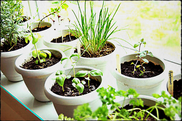 how to grow herbs indoors life your way. Black Bedroom Furniture Sets. Home Design Ideas