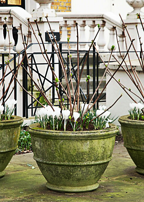 crocus-in-pots-e1425975757614