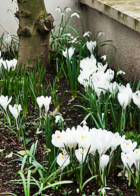 white-crocus-and-snowdrops-3-e1425921317135