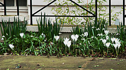 white-crocus-and-snowdrops-best-e1425921220537